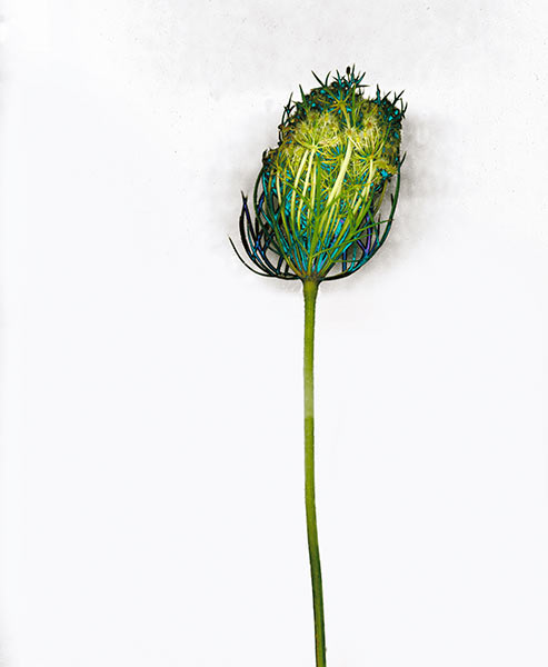 Queen Anne's Lace, green blue colorful wild flower weed, illustrative fine art photograph - White Wildflower I, 2002 by William Oldacre