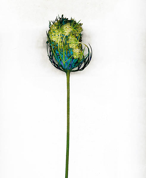 Majesty series, Queen Anne's Lace, green, blue, colorful, wild flower, weed, illustrative fine art photograph