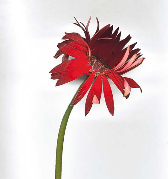 Majesty series, Gerbera, red green colorful flower, illustrative photograph
