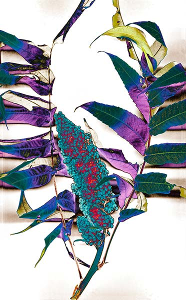 Majesty series, Wild Sumac, turqoise mauve metallic green, colorful wild flower weed, illustrative photograph