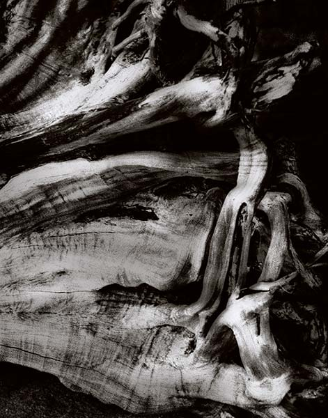sun bleached tree stump with sinuous twisted roots, toned infrared black and white photograph, Hana I, 2008 by William Oldacre