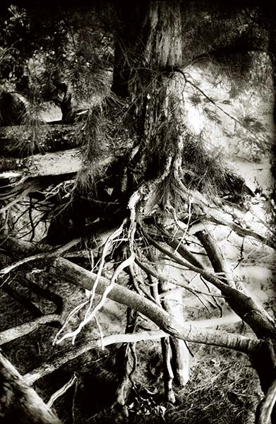 Tropical series, intertwined tree roots, beach, infrared black and white photograph