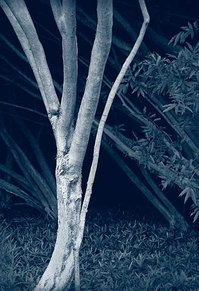 A Priori series, day, cyanotype, black and white photograph, art, creative, tree, bush